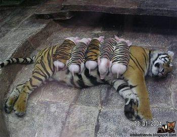 Tigerandpiglet1