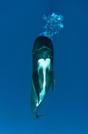 Pilot-whale-verticle